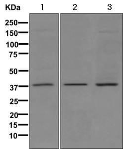 Western blot - Anti-MOS antibody [EPR6720(2)-23] (ab171937)
