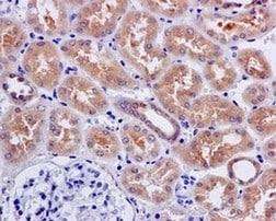 Immunohistochemistry (Formalin/PFA-fixed paraffin-embedded sections) - Anti-Aspartate Aminotransferase antibody [EPR12144(B)] (ab171939)