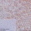 Immunohistochemistry (Formalin/PFA-fixed paraffin-embedded sections) - Anti-FGF21 antibody [EPR8314(2)] (ab171941)