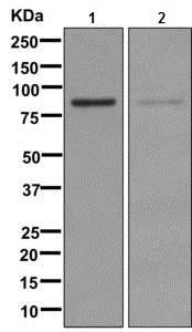 Western blot - Anti-NADSYN1 antibody [EPR10611] (ab171942)