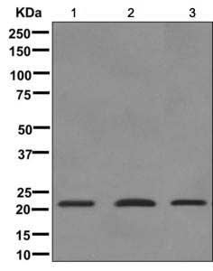 Western blot - Anti-Thyrotropin Releasing Hormone (TRH) antibody [EP8858(2)] (ab171958)