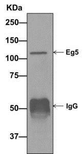 Immunoprecipitation - Anti-Eg5 antibody [EPR12280] (ab171963)