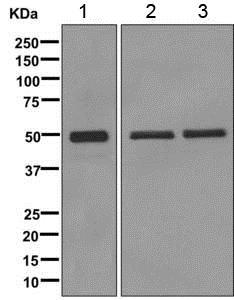 Western blot - Anti-TBP-1 antibody [EPR12153] (ab171974)