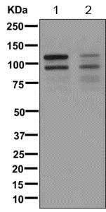Western blot - Anti-Angiomotin like 1 antibody [EPR11803-97] (ab171976)