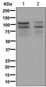 Western blot - Anti-Angiomotin like 1 antibody [EPR11803-54] (ab171977)