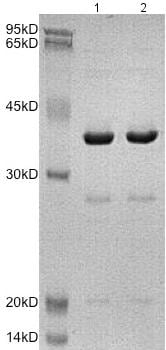 SDS-PAGE - Recombinant Human D Amino Acid Oxidase protein (BSA and azide free) (ab172150)
