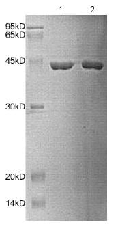 SDS-PAGE - Recombinant Human HPD protein (BSA and azide free) (ab172151)
