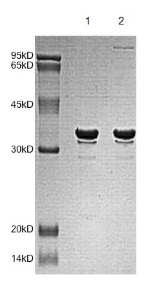 SDS-PAGE - Recombinant Human MRGX protein (ab172166)