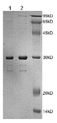 SDS-PAGE - Human Desmin protein fragment (ab172169)