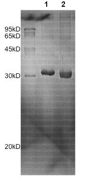 SDS-PAGE - Recombinant Human Peroxiredoxin 4 protein (ab172175)
