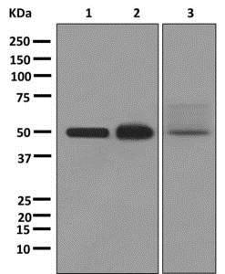 Western blot - Anti-RAGE antibody [EPR12206] (ab172473)