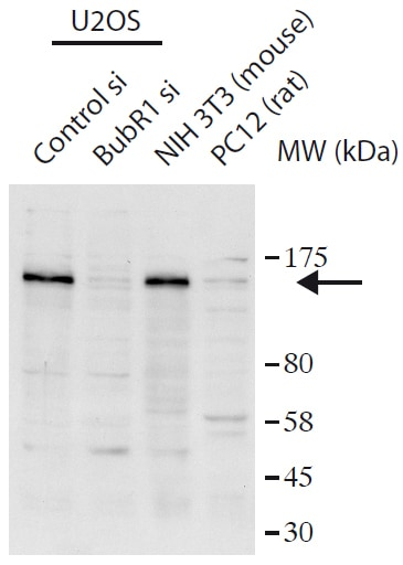 Western blot - Anti-BubR1 antibody (ab172581)