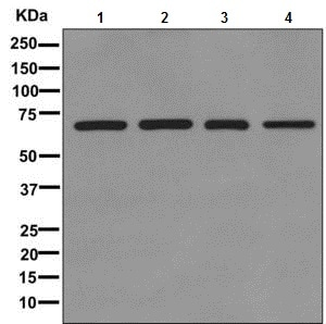 Western blot - Anti-RECQ1 antibody [EPR8049(2)] (ab172607)
