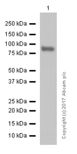 Western blot - Anti-Bcl6 antibody [EPR11410-43] (ab172610)