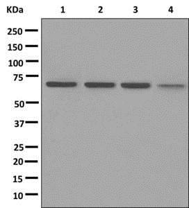Western blot - Anti-BEGAIN antibody [EPR11155] (ab172619)