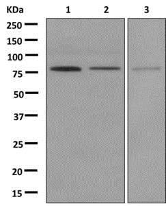 Western blot - Anti-BLAP75 antibody [EPR12157(B)] (ab172625)