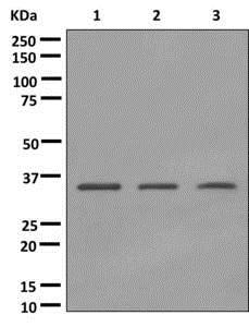 Western blot - Anti-Pirin/PIR antibody [EPR11376] (ab172629)