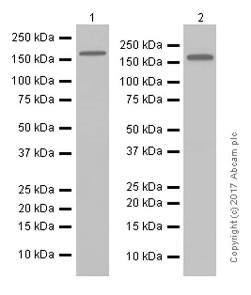 Western blot - Anti-SMARCC1/BAF155 antibody [EPR12395] - ChIP Grade (ab172638)