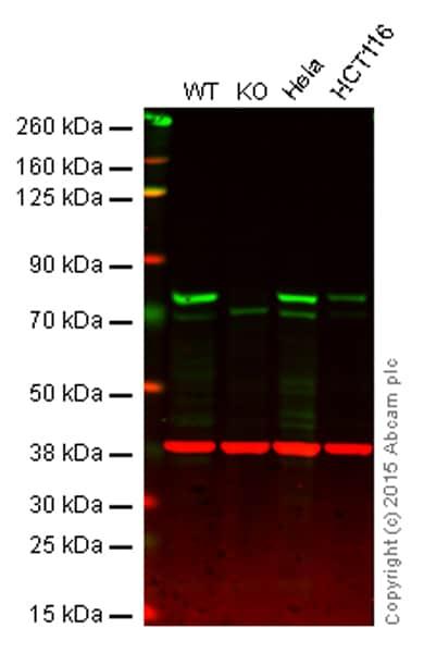 Western blot - Anti-MELK antibody [EPR3981] - BSA and Azide free (ab172889)