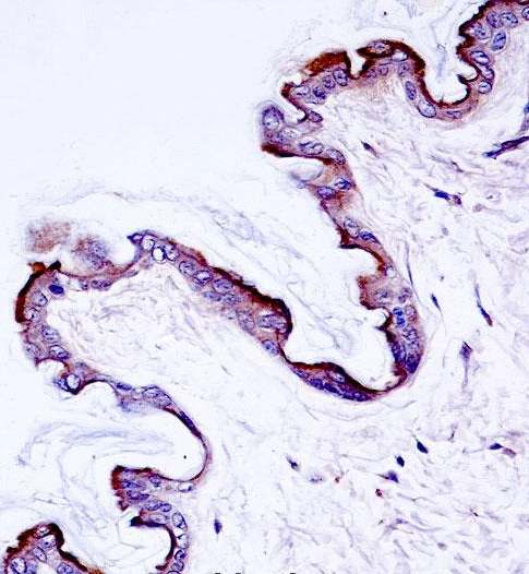 Immunohistochemistry (Formalin/PFA-fixed paraffin-embedded sections) - Anti-PKC eta antibody (ab172925)