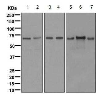 Western blot - Anti-ERO1L antibody [EPR12475(B)] (ab172954)