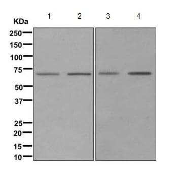 Western blot - Anti-SELO antibody [EPR11968] (ab172957)