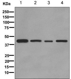 Western blot - Anti-IDH1 antibody [EPR12296] (ab172964)
