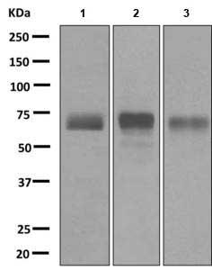 Western blot - Anti-LZP antibody [EPR9349] (ab172973)