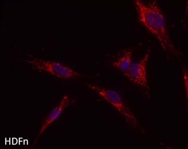 Immunocytochemistry/ Immunofluorescence - Anti-ATP5H antibody [10G5AB9] (ab173006)