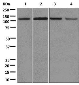 Western blot - Anti-FAM29A antibody [EPR11668] - C-terminal (ab173281)