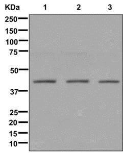 Western blot - Anti-PHD finger protein 6/PHF6 antibody [EPR11997] (ab173304)
