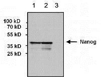 Western blot - Anti-Nanog antibody [23D2-3C6] (ab173368)