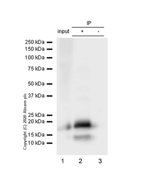 Immunoprecipitation - Anti-eIF4EBP1 antibody [Y329] - BSA and Azide free (ab173370)