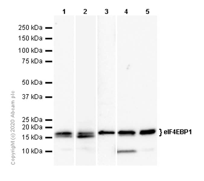 Western blot - Anti-eIF4EBP1 antibody [Y329] - BSA and Azide free (ab173370)