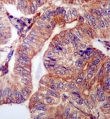 Immunohistochemistry (Formalin/PFA-fixed paraffin-embedded sections) - Anti-WDR1 antibody [EPR8793] (ab173574)
