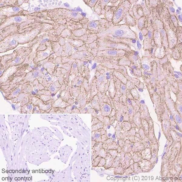 Immunohistochemistry (Formalin/PFA-fixed paraffin-embedded sections) - Anti-Caveolin-3 antibody [EPR11082] (ab173575)