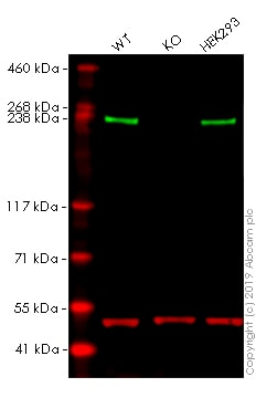 Western blot - Anti-Acetyl Coenzyme A Carboxylase (phospho S79) antibody [EP1885Y] - BSA and Azide free (ab173583)