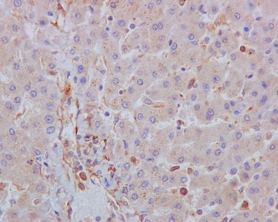 Immunohistochemistry (Formalin/PFA-fixed paraffin-embedded sections) - Anti-Acetyl Coenzyme A Carboxylase antibody [EP687Y] - BSA and Azide free (ab173584)