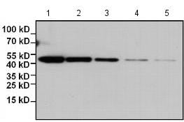 Western blot - Biotin Anti-HA tag antibody [2-2.2.14] (ab173825)