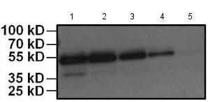 Western blot - HRP Anti-HA tag antibody [2-2.2.14] (ab173826)