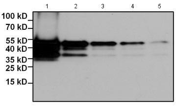 Western blot - Anti-Myc tag antibody [Myc.A7] (Biotin) (ab173829)