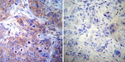 Immunohistochemistry (Formalin/PFA-fixed paraffin-embedded sections) - Anti-gamma Tubulin antibody [4D11] - C-terminal (ab173831)