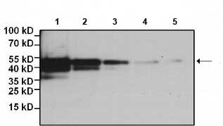 Western blot - Biotin Anti-DDDDK tag (Binds to FLAG® tag sequence) antibody [FG4R] (ab173832)