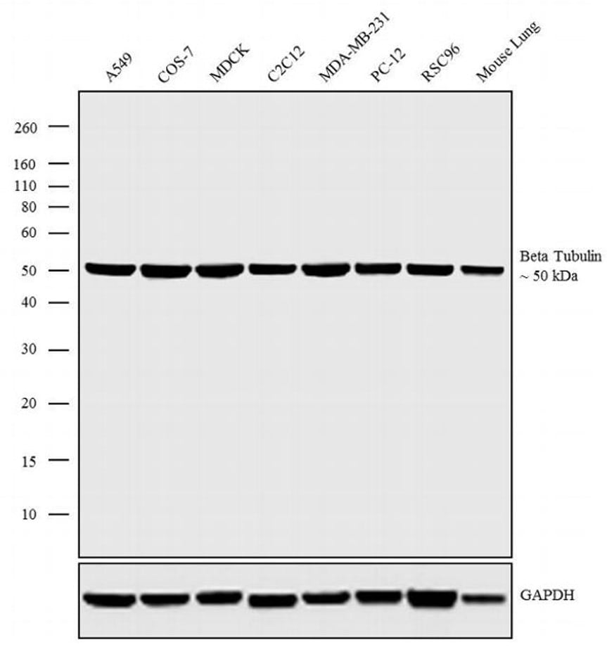 Western blot - HRP Anti-beta Tubulin antibody [BT7R] (ab173840)