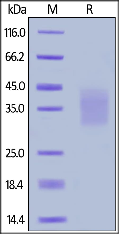 SDS-PAGE - Recombinant human SCF protein (Active) (ab174005)