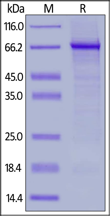 SDS-PAGE - Recombinant human Leukotriene A4 hydrolase/LTA4H protein (Active) (ab174008)