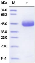 SDS-PAGE - Recombinant human DR5 protein (Fc Chimera Active) (ab174009)