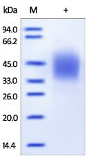 SDS-PAGE - Recombinant human CD16b protein (Active) (ab174010)