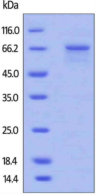SDS-PAGE - Recombinant human MMP2 protein (Active) (ab174022)