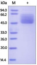SDS-PAGE - Recombinant Human MUC1 protein (Fc Chimera) (ab174031)
